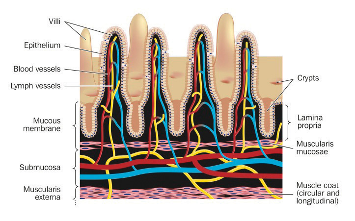 the process of absorption of food nutrients in the small intestine