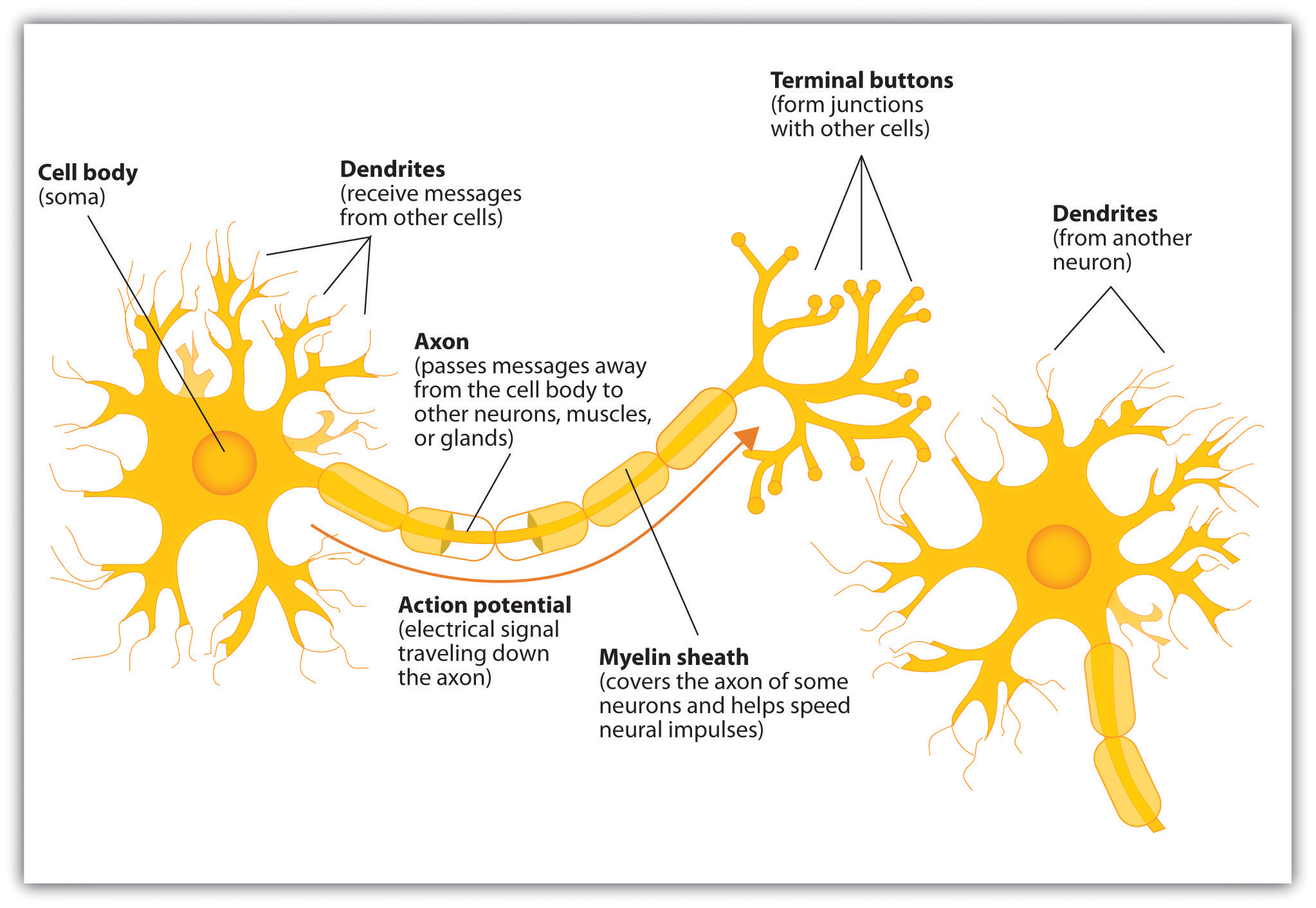 the neuron is the building block of the nervous system  #11