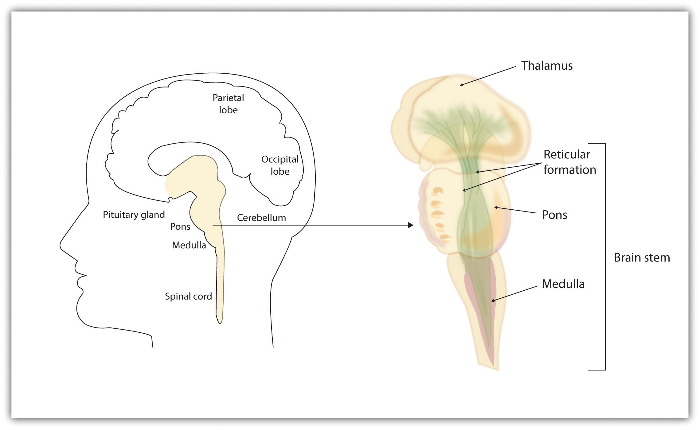 Brains, Bodies, and Behavior Brainstem And Spinal Cord