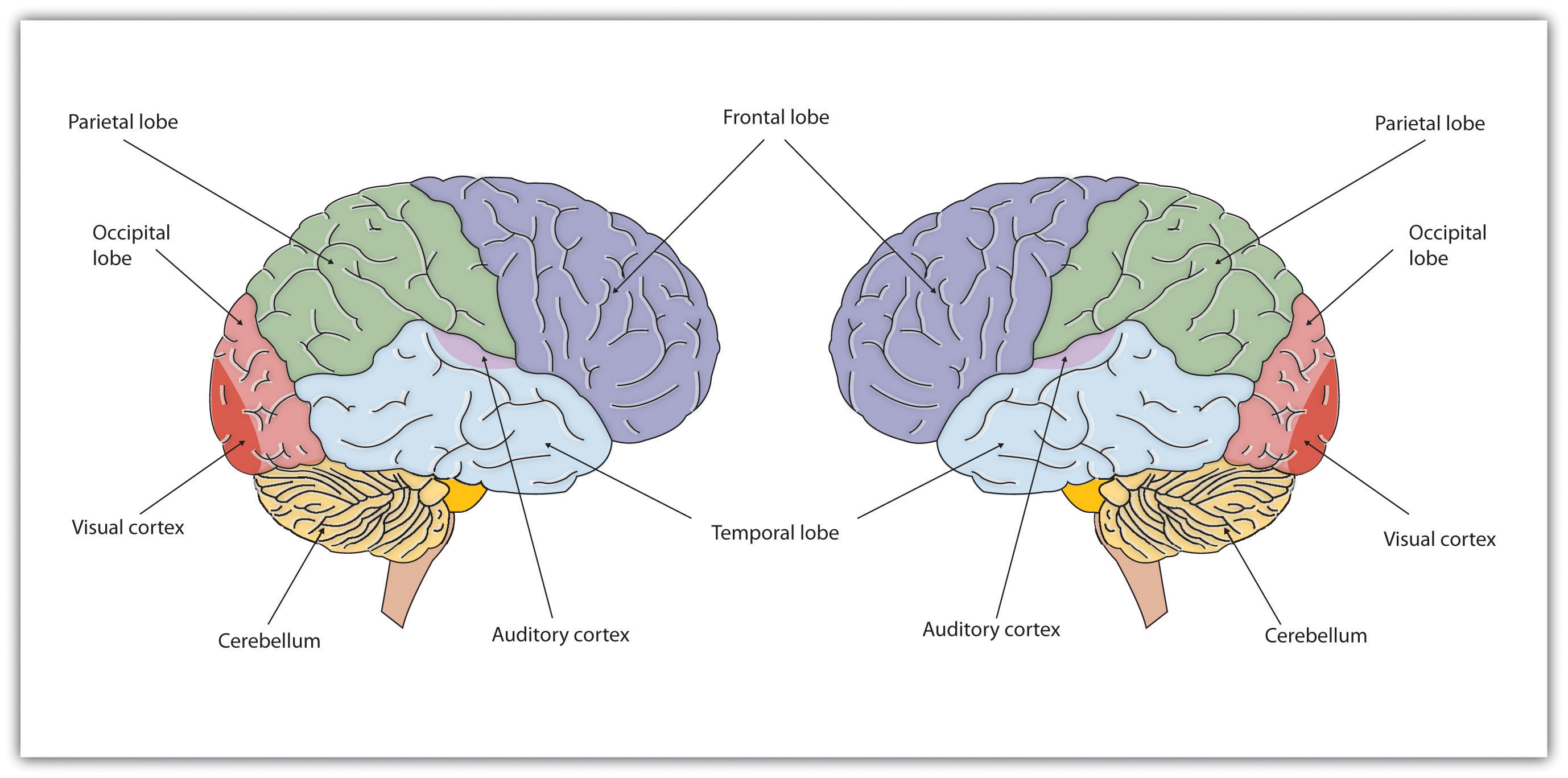 Brain Structure and Function