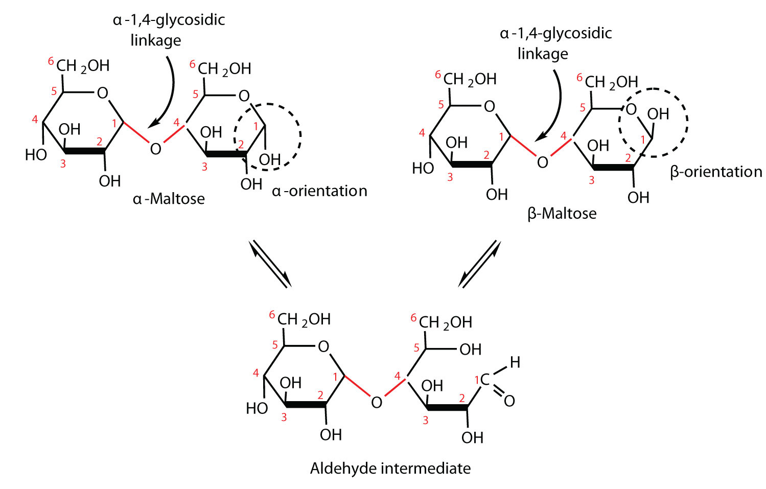 An Is A Building Block Of Polysaccharides Such As Starch