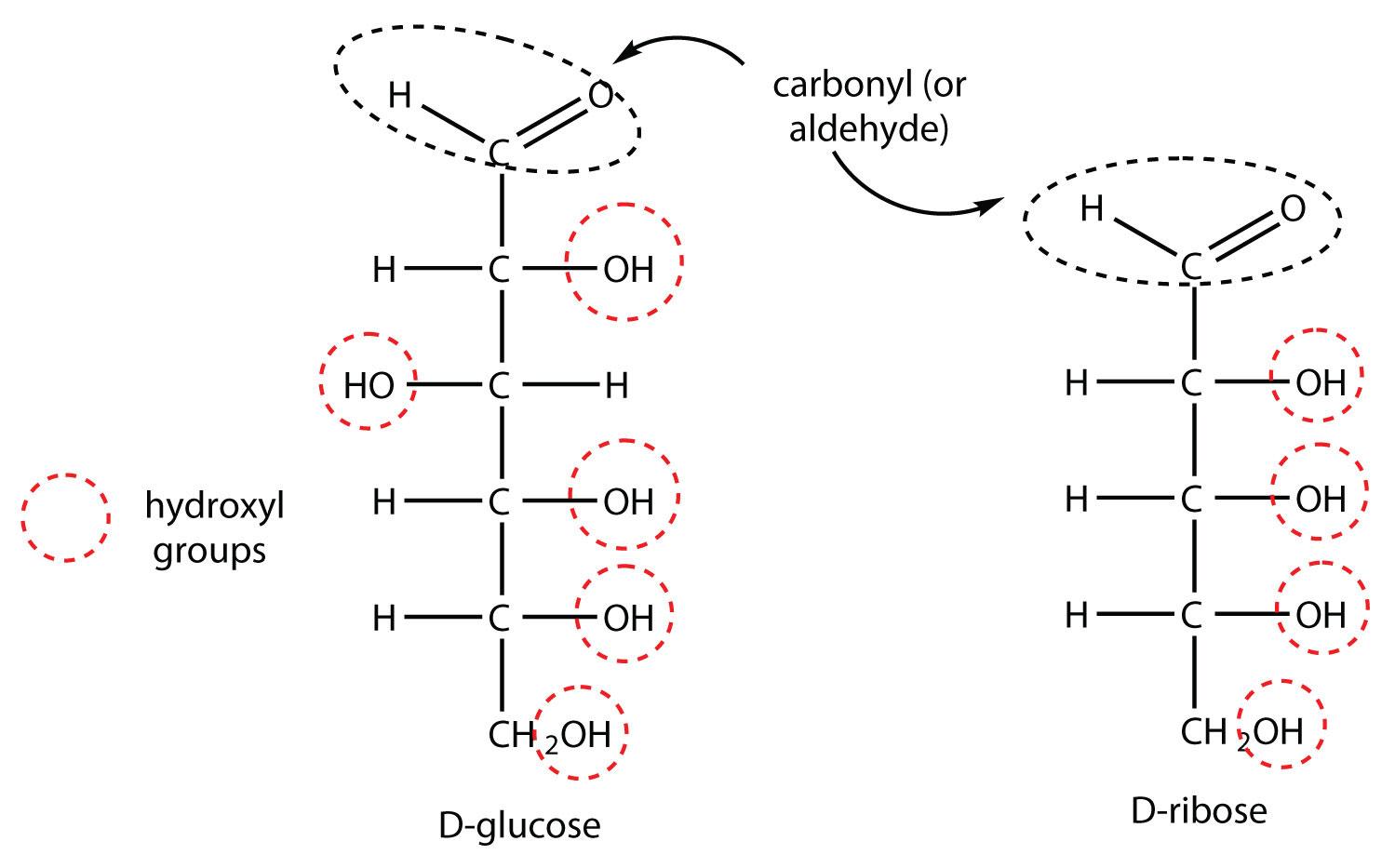 D Galactose Fischer Lactose  D-ribose