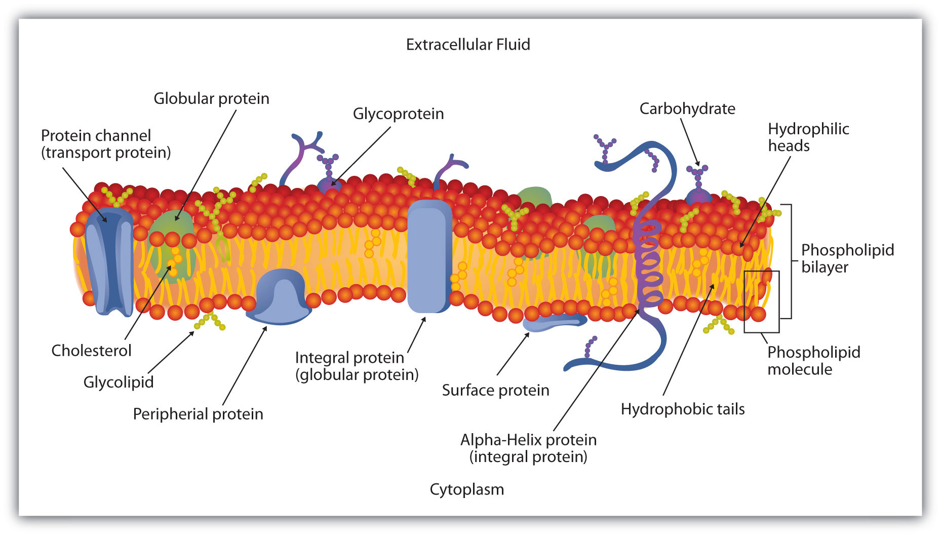 Cell Membrane Structure Cholesterol The membrane enclosing a