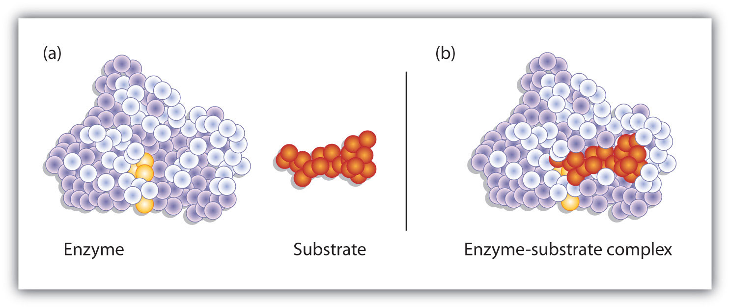 AP Biology/LABORATORY Enzyme Catalysis