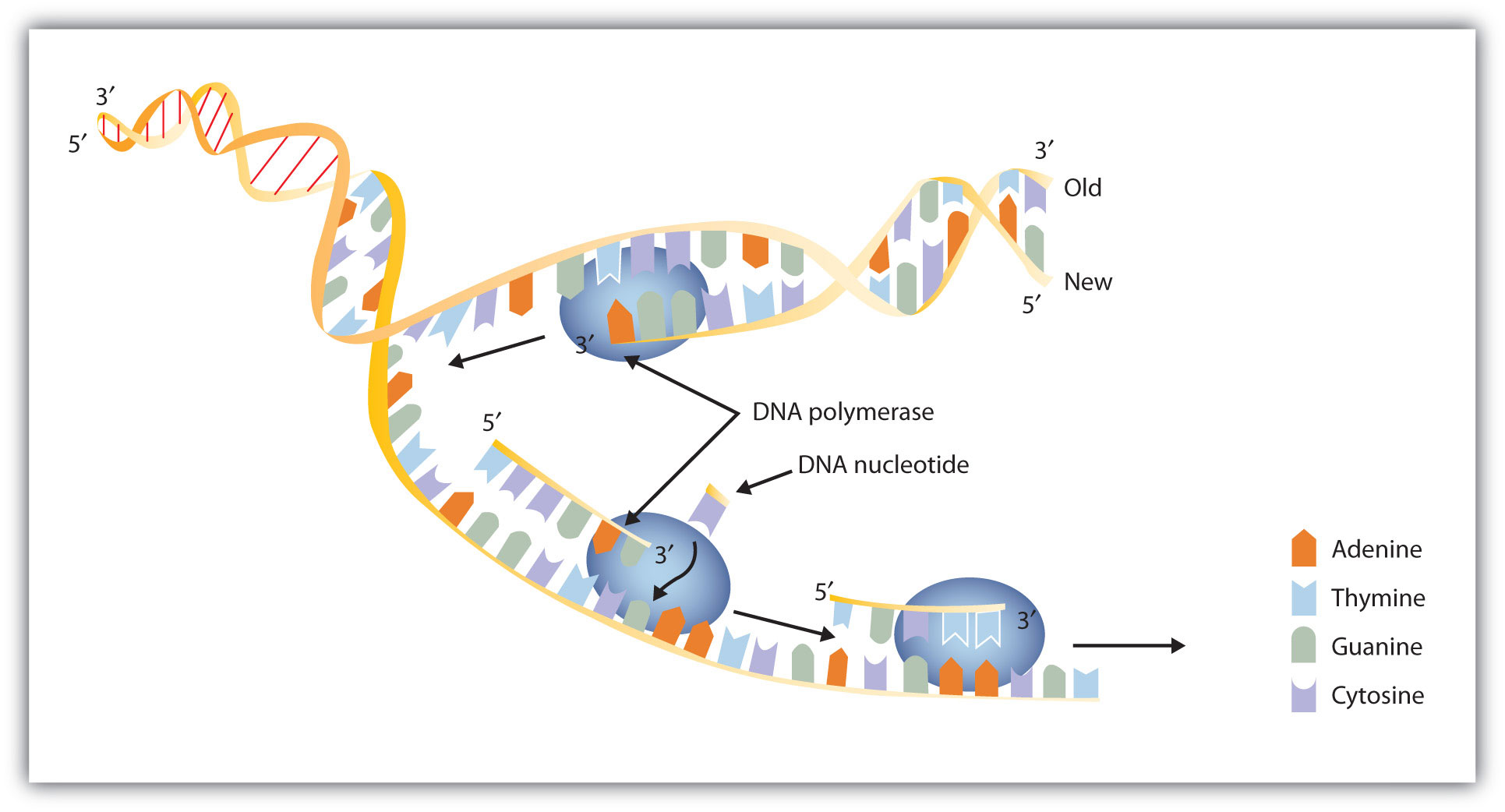 Dna Replication Diagram DNA replication occurs by the