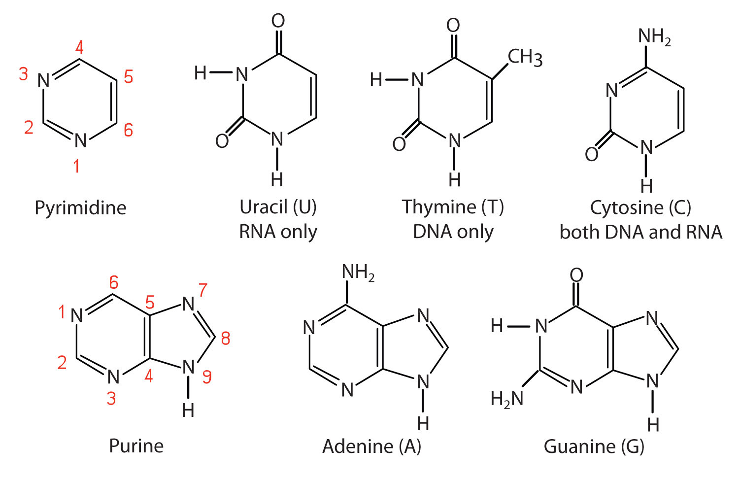 Nucleotide Bases Bases Found in DNA and RNA