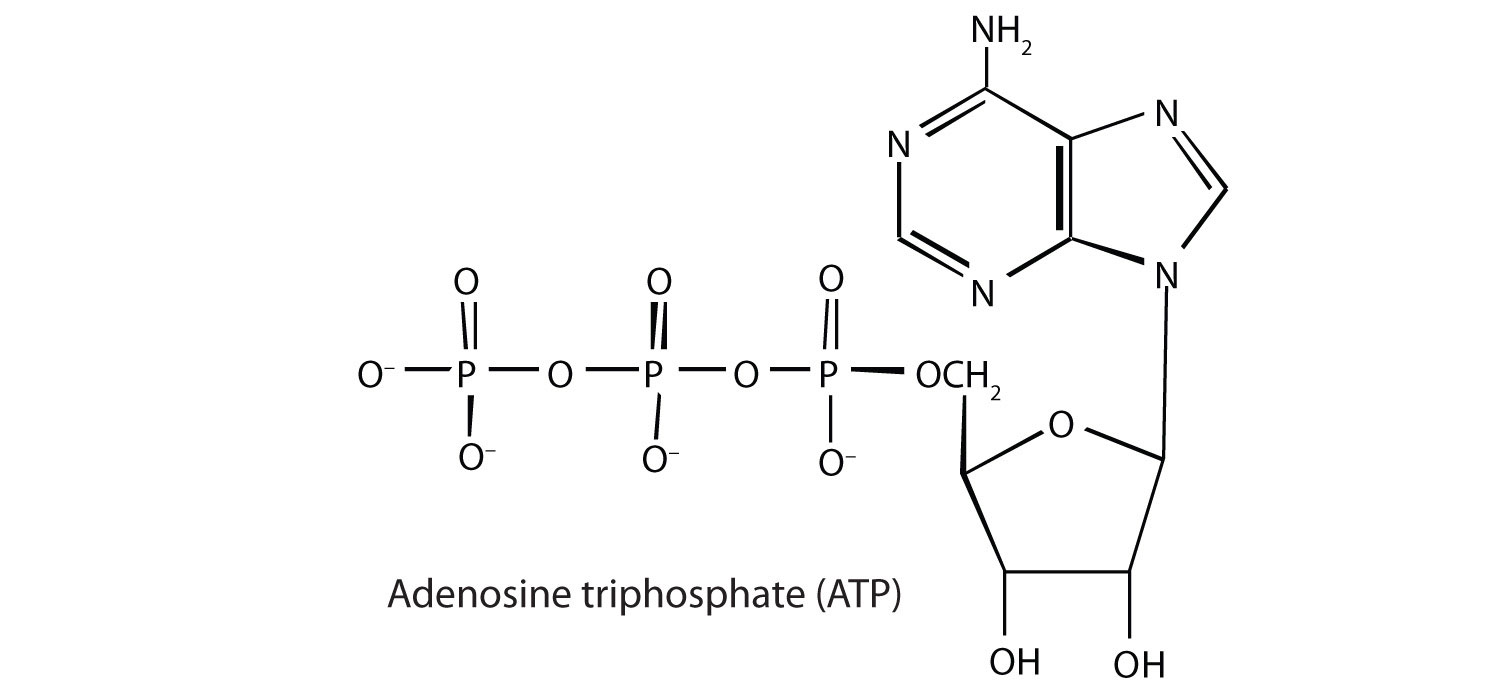 an introduction to the phosphate compound adenosine triphosphate An introduction to the phosphate compound adenosine triphosphate 3,405 words 8 pages an analysis of actions and effects of creatine 1,551 words 3 pages.