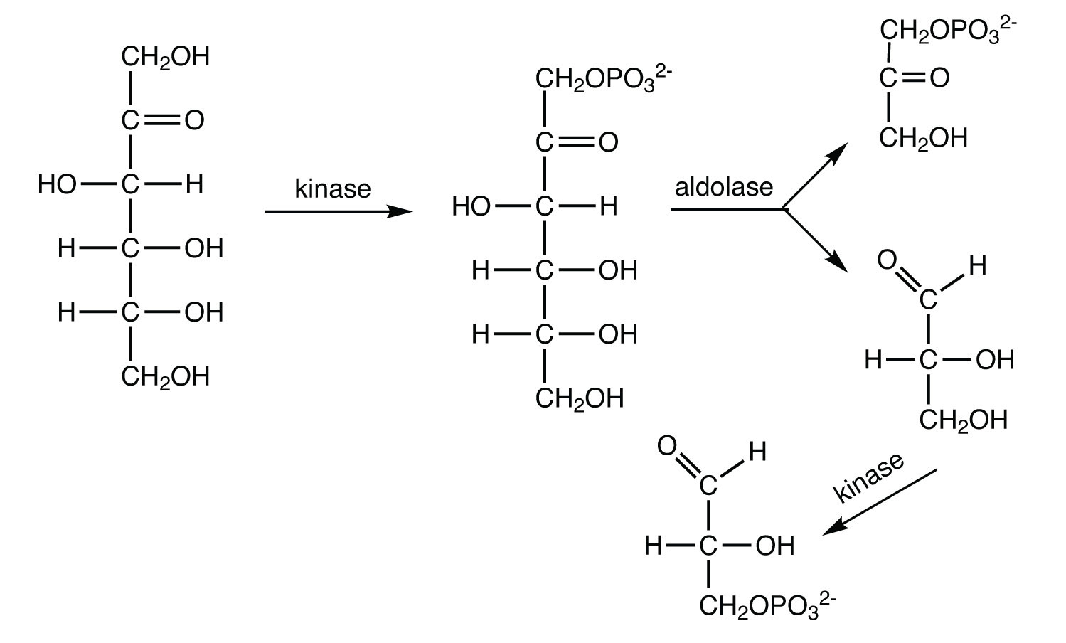 End-of-Chapter Materia...D Glucose 6 Phosphate
