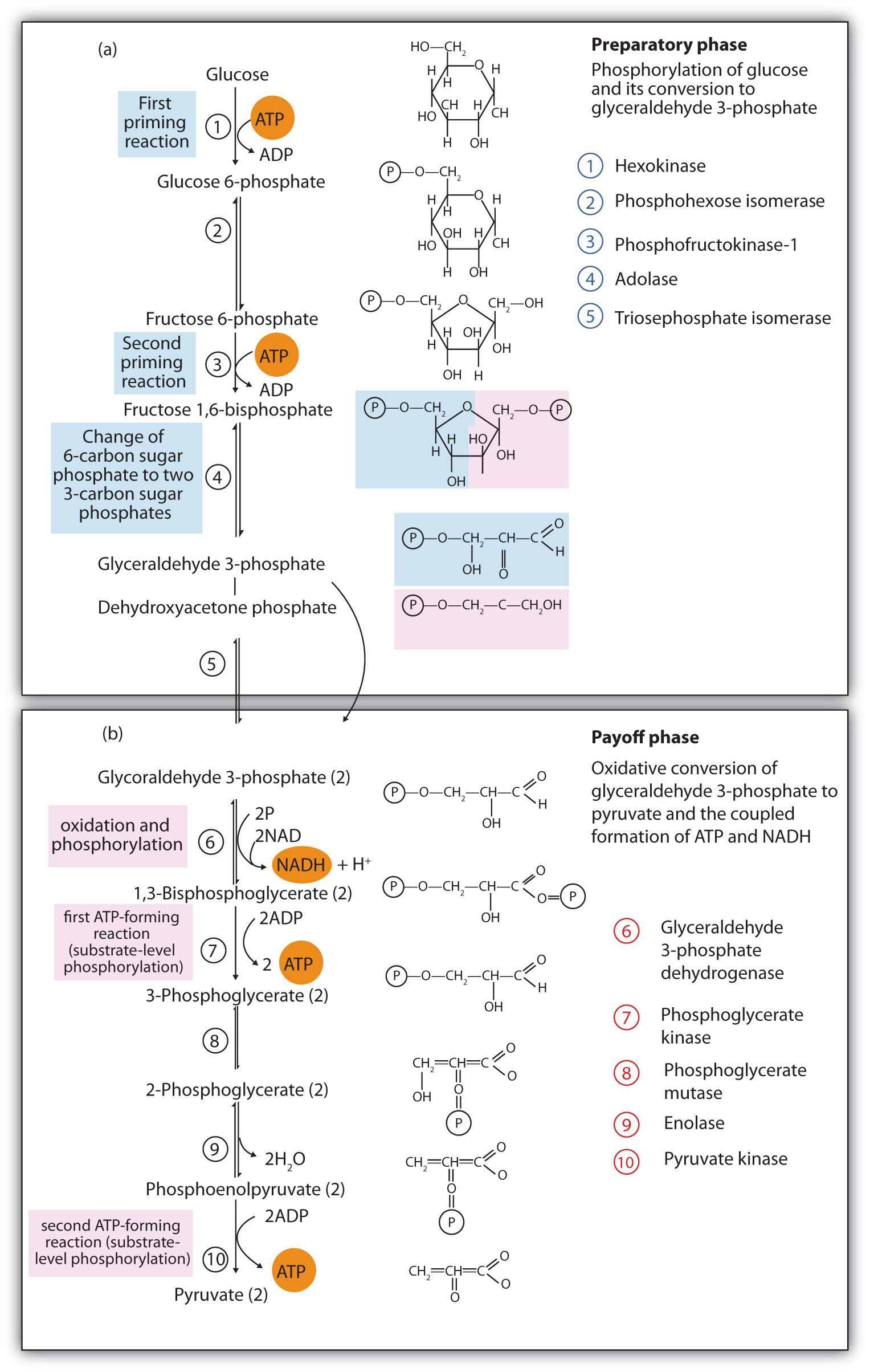 Energy metabolism steps in glycolysis ccuart Choice Image
