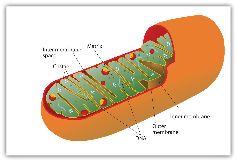 D Fb F E C A Cea F A A on Cellular Respiration Diagram Mitochondria