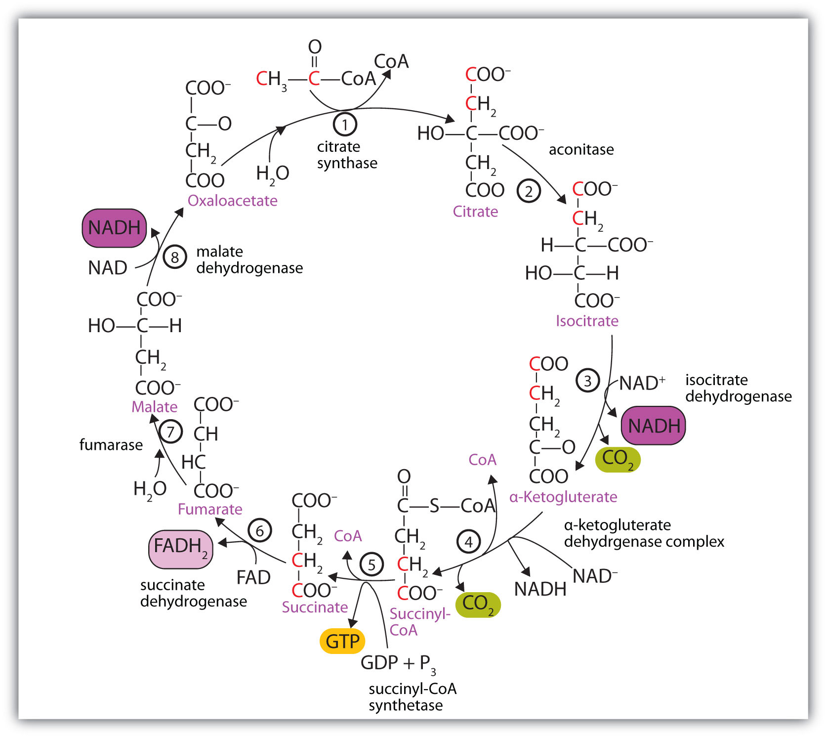 Citric Acid Cycle Structures of The Citric Acid Cycle