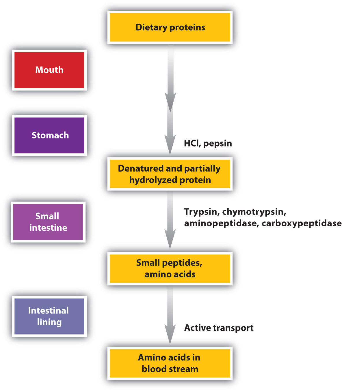 pepsin and protein essay