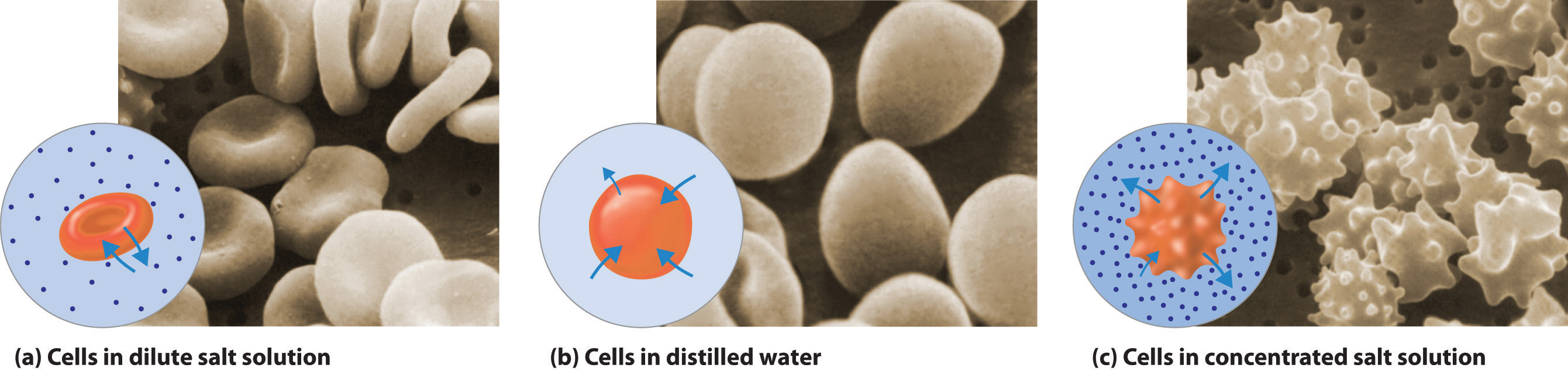 what is the percentage of salt in red blood cells