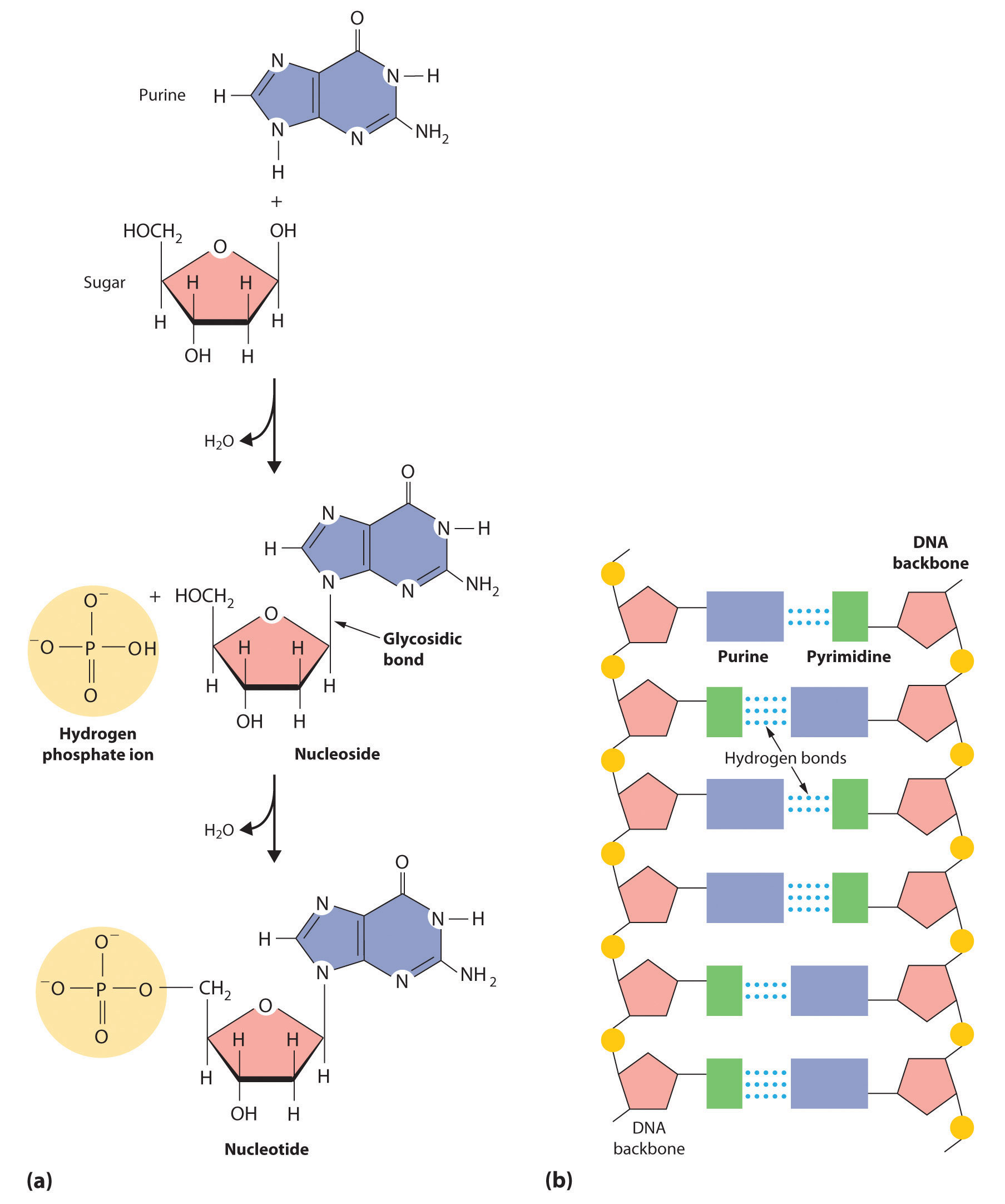 Chapter 05 - The Structure and Function of Macromolecules